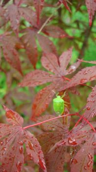 insect on japanese maple leafs