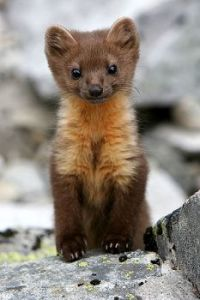 This is one cute little Marten, no?