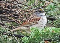New Arrivals: White-Throated Sparrow