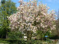Mangolia in Nuenen