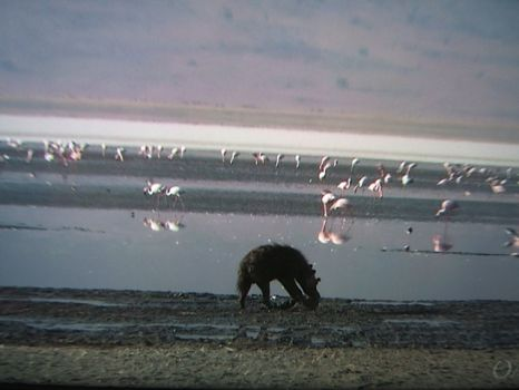 Hyaena in front of Flamingos