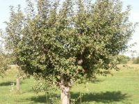 Apple Tree 1672