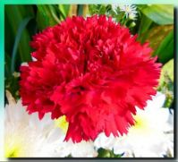 Carnation for Ardy
