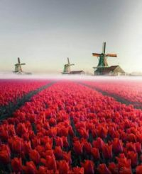 Windmills and tulips in the fog.
