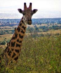 The Tallest Mammal On Earth, Masai Mara, Kenya