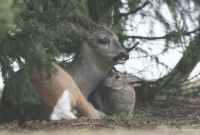 Bambi & Thumper do exist in Alberta Canada pic3