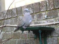 Laverne - Collared Dove