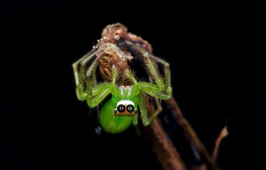 Green Tree Spider - Asia.
