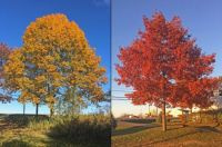 It's not just the maples...