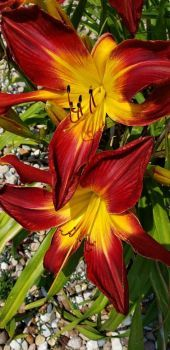 Lilies in the Lot