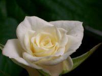 Rose 88