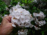 Georgia's wild rhododendron