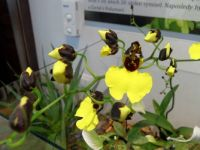 orchideje Oncidium