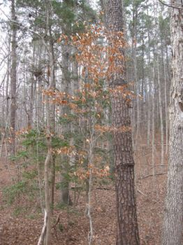 beech, holly, loblolly, and a gray barked trunk
