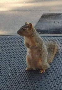 Squirrel beggar