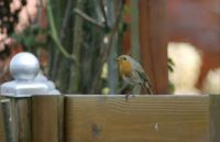 Robin in our garden (roodborstje)