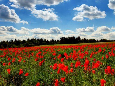 Poppy-field-Germany