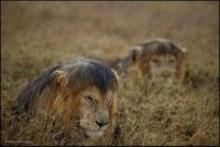 Lion kings looking not quite as dignified in the downpour.
