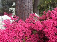 Azalea Close Up