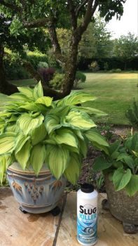 Hostas and Pellets