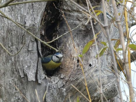 A blue tit, just about to fly out of the hollow willow, to find more food for the young ones.