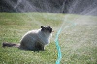 Cat drinking from sprinklers!