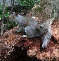 Squirrel Central Park, NYC