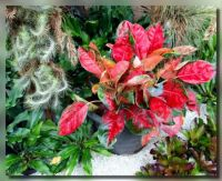 Aglaonema and friends for Ardy