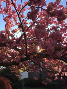 My Japanese Cherry Tree- sun setting through the blooms