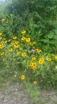 "Black-eyed Susan and ""friends"""
