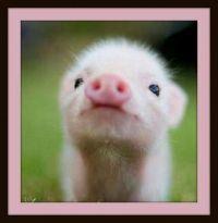 Pinknblack Itty Bitty Pig