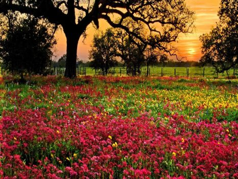 Sunset behind a field of red wildflowers