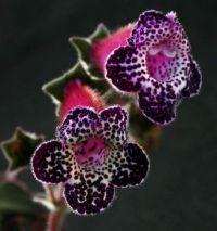 Kohleria 'Heartland's Blackberry Butterfly'