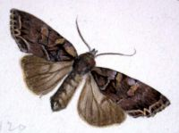 Painting of a Moth