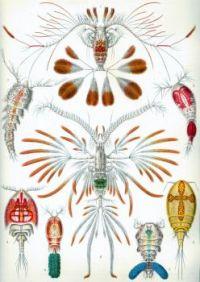 Haeckel_Copepoda