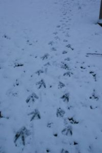 Quacker Tracks