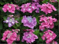 """Collage of my Hydrangea """"Lace"""" flowers"""