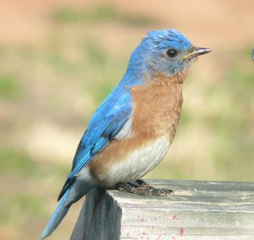 Male Bluebird on my deck