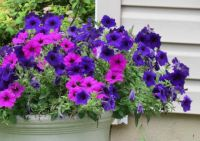Pink & Purple Petunias