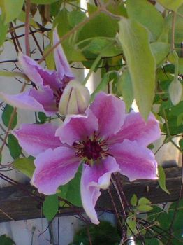 Clematis i min have