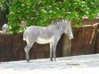 Grevy's Zebra at the Saint Louis Zoo