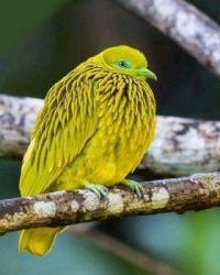 Golden Fruit Dove
