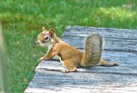 red squirrel resting on a hot day