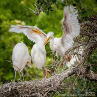 Great Egret Nestlings, very agressive