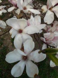 magnolie...