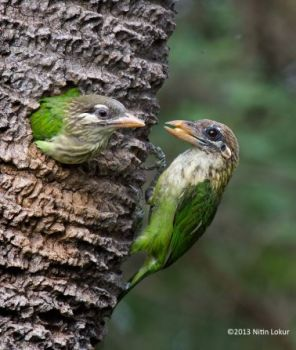 White-Cheeked Barbet by Nitin Lokur