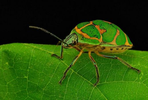 Clown Stink Bug - China.