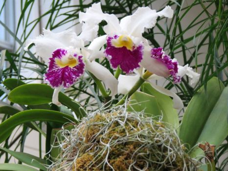 13 - Orchids - Missouri Botanical Garden