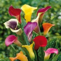 Calla Lilies from edenbrothers