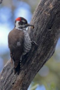 Arizona Woodpecker, Arizona by Greg Lavaty